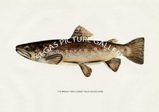 Brown Trout (Adult Male) Salmo-Fairo